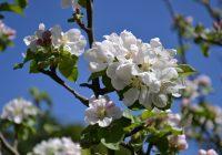 Fleurs de pommier - 24/04/2016