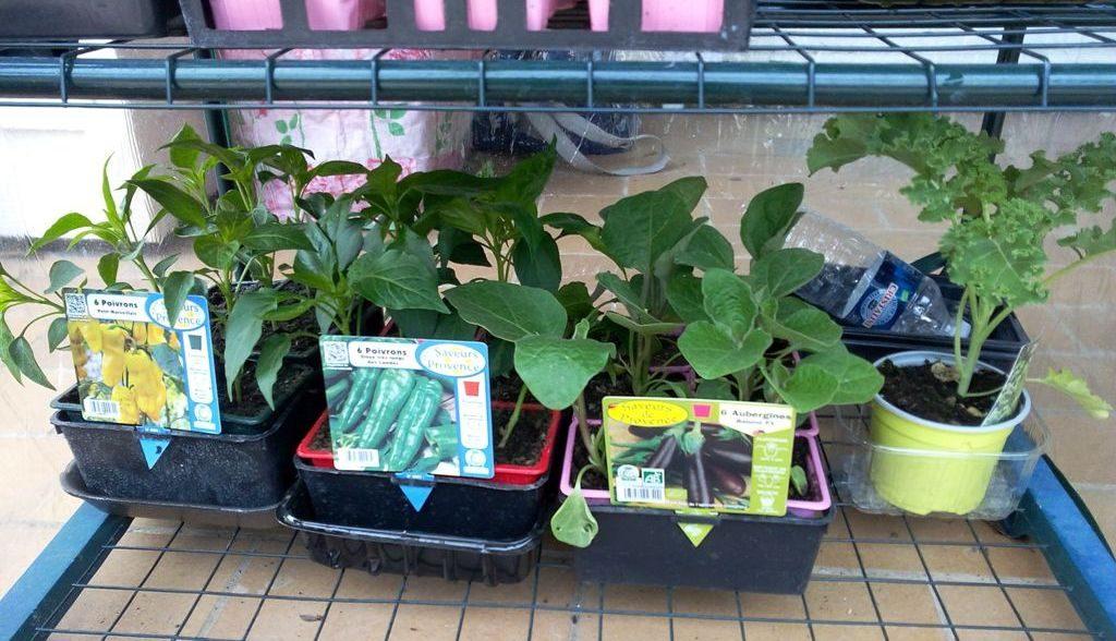 Plants de légumes en mini-serre