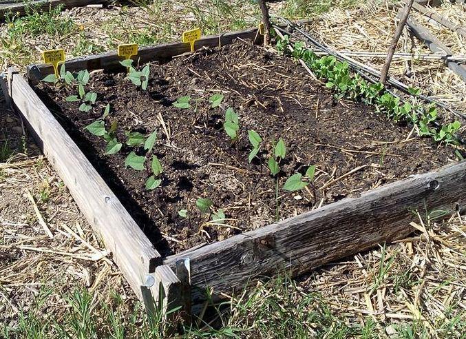 Haricots, pois, carottes - 24/04/2016