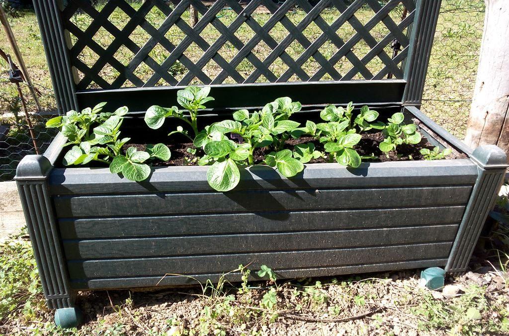 Plants de pomme de terre + lin bleu - 08/04/2016 (plantation du 14/03/2016)