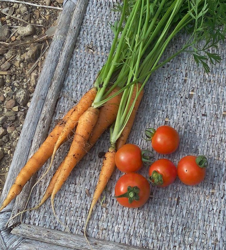 Carottes Nandor et tomates Harmony
