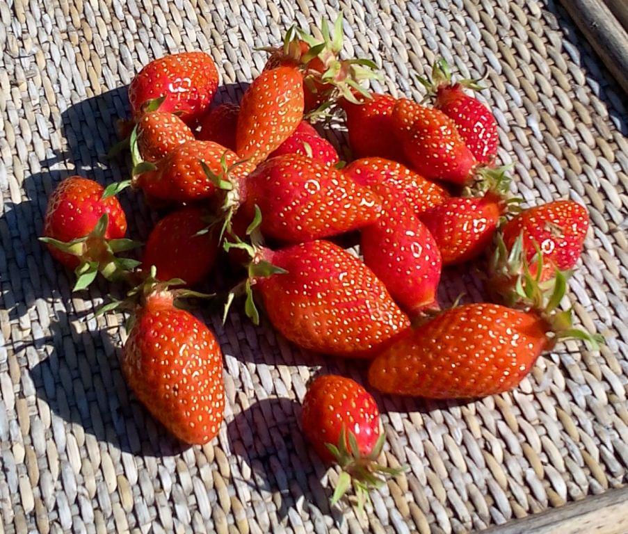 De bonnes fraises saines et gouteuses - 23/04/2016