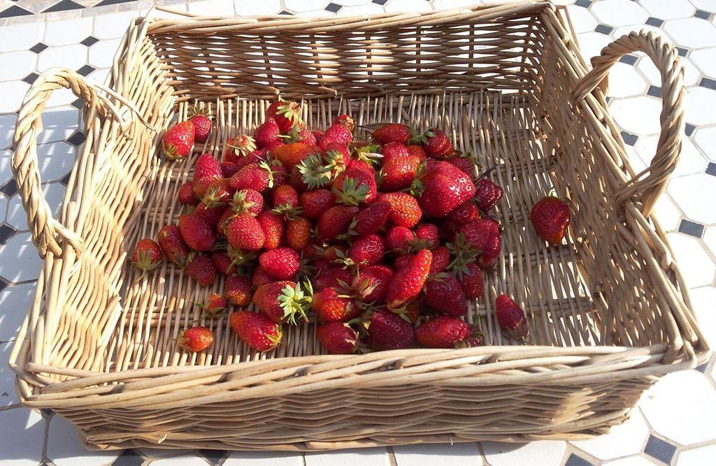 Récolte fraises du jour 3 juin 2016