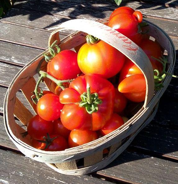 Premières tomates