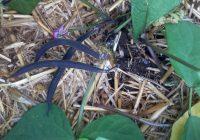 De la couleur au potager avec des haricots violets